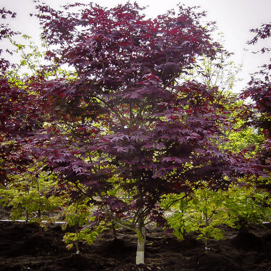 maple tree zone emperor japanese maple for sale the tree center