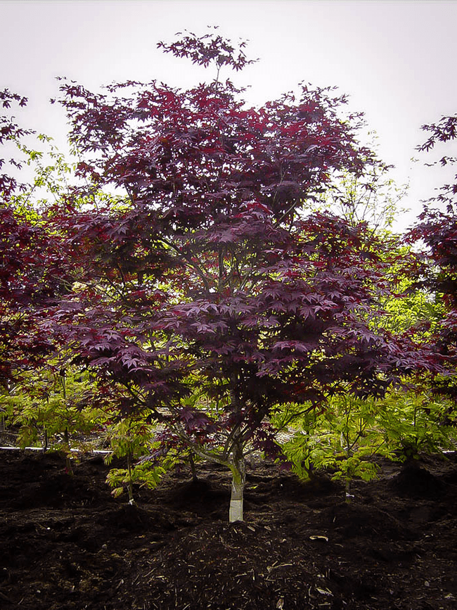 Emperor Japanese Maple The Tree Center