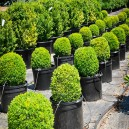 English Boxwood Plants