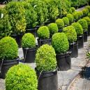 English Boxwood Plants