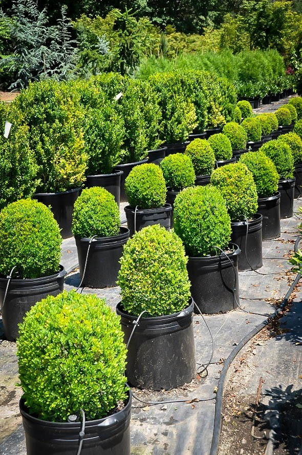 English Boxwood The Tree Center