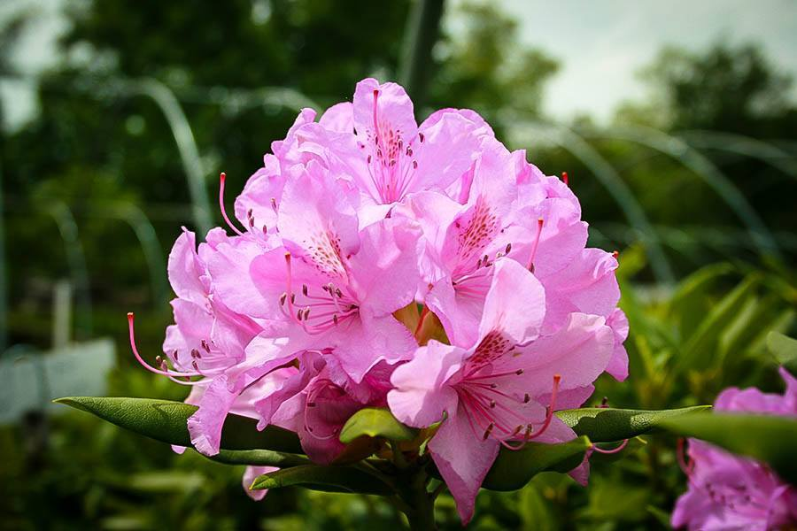 Pink Rhododendron English Roseum For Sale The Tree Center