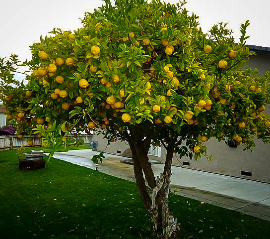 Eureka lemon tree the tree center for Arboles de jardin de hoja perenne
