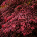 ever-red-japanese-maple-3