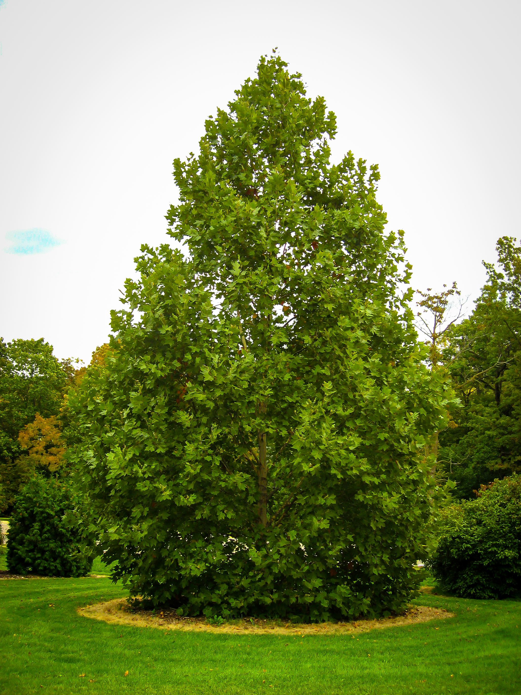 Exclamation London Planetrees For Sale The Tree Center