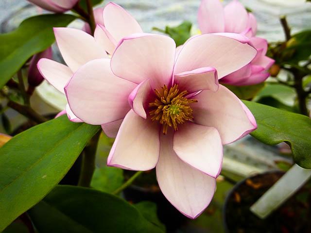 Fairy Blush Magnolia The Tree Center
