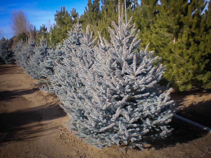 Colorado Blue Spruce The Tree Center