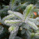 fat-albert-colorado-blue-spruce-3