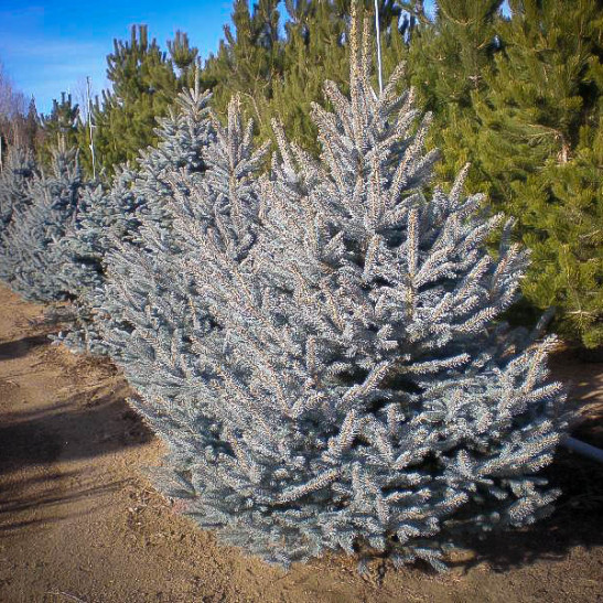Fat Albert Colorado Blue Spruce For Sale Online The Tree