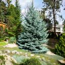 fat-albert-colorado-spruce-3