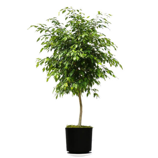 Weeping Fig Trees For Sale Online The Tree Center
