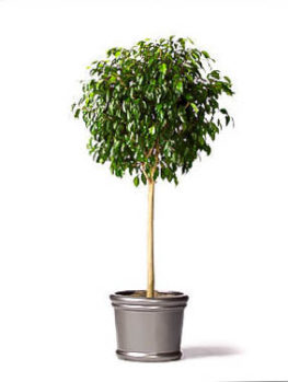 Ficus Benjamina – Weeping Fig Tree