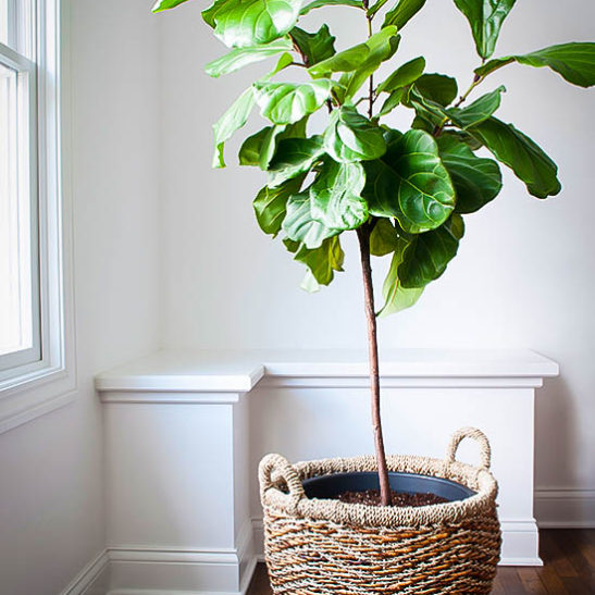 home gift treesfiddle leaf fig tree sold out - Fiddle Leaf Fig Tree