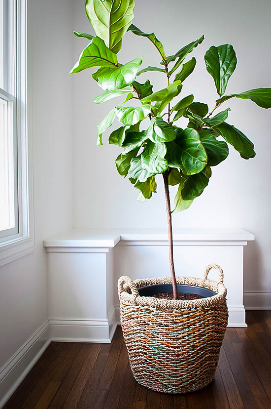 Perfect Home Gift TreesFiddle Leaf Fig Tree. Sold Out