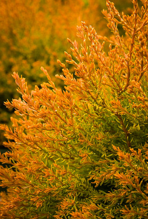 Fire Chief Arborvitae Trees For Sale Online The Tree Center