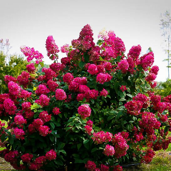 Firelight 174 Hydrangeas For Sale Online The Tree Center