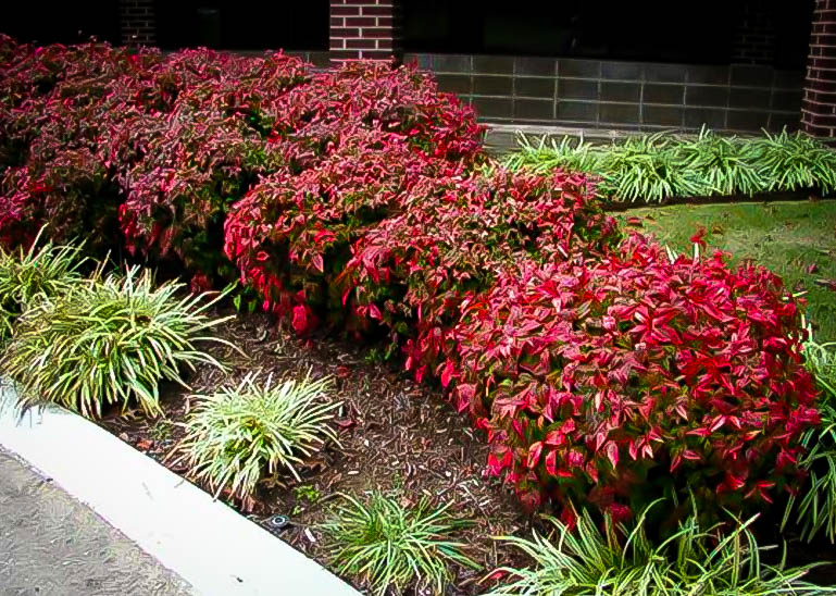 Firepower nandina for sale the tree center for Pianta nandina