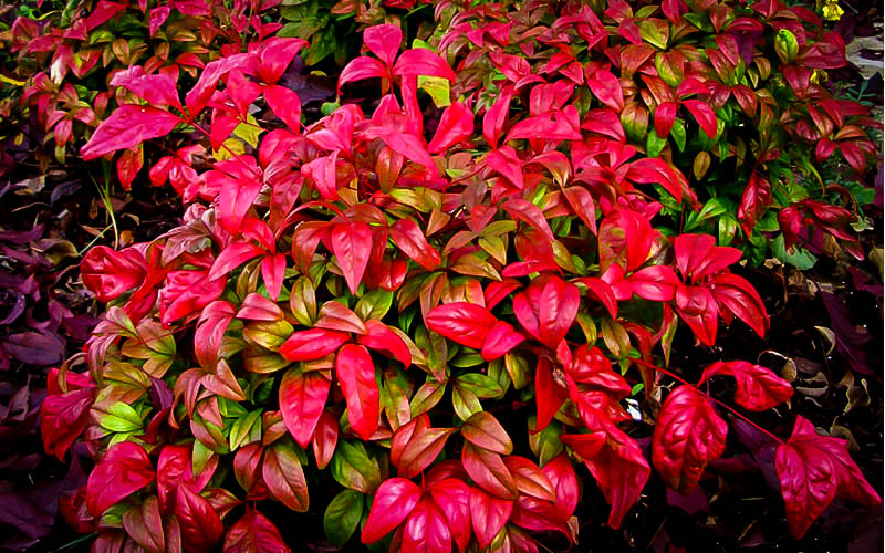 Firepower Nandina For Sale | The Tree Center™ Nandina Domestica Firepower