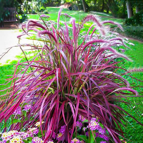 Fireworks Fountain Grass For Sale The Tree Center