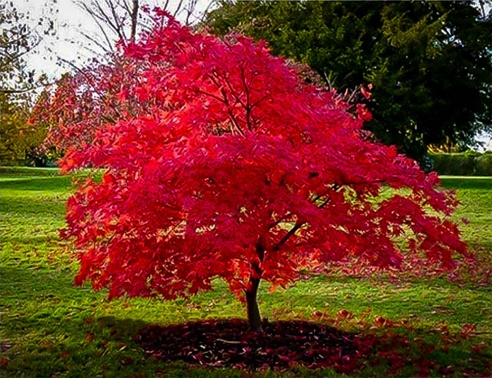 Flame amur maple for sale online the tree center for Maple trees for sale