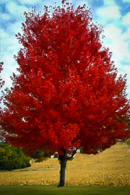 Flame Amur Maple The Tree Center