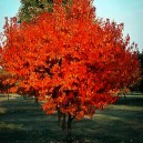 Flame Amur Maple Tree