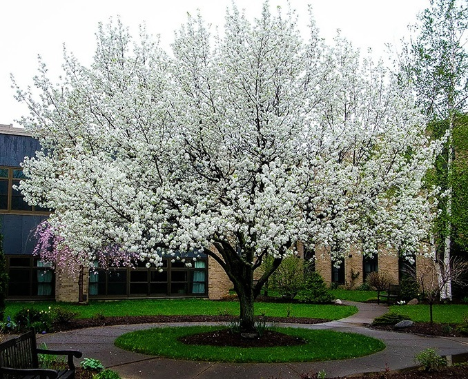 Cleveland Flowering Pear Tree For Sale Online | The Tree Center™