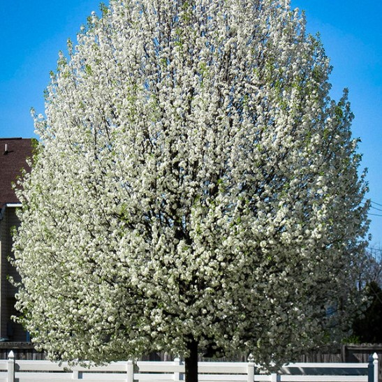 Cleveland Flowering Pear Tree The Tree Center