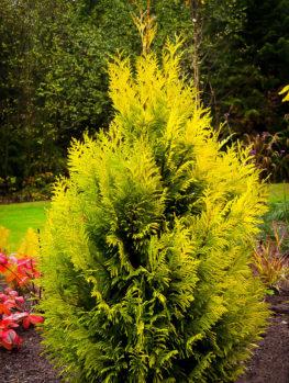 Forever Goldy Arborvitae