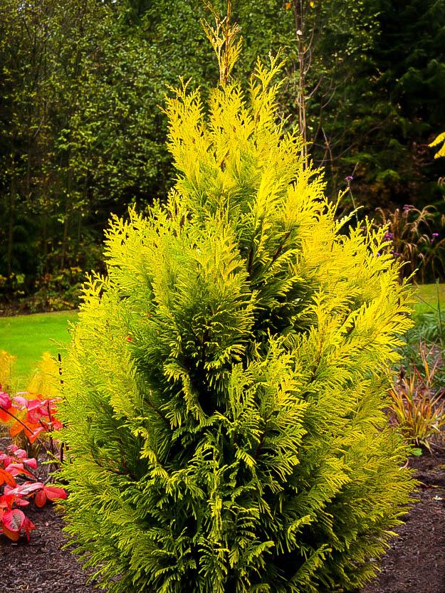 forever goldy arborvitae trees for sale