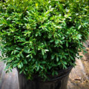 Franklin's Gem Boxwood