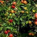 Large group of fruit on a Gala Apple Tree