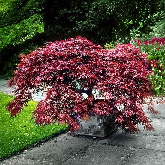 Garnet Japanese Maple For Sale Online The Tree Center