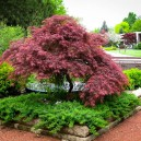 Garnet Japanese Maple Tree