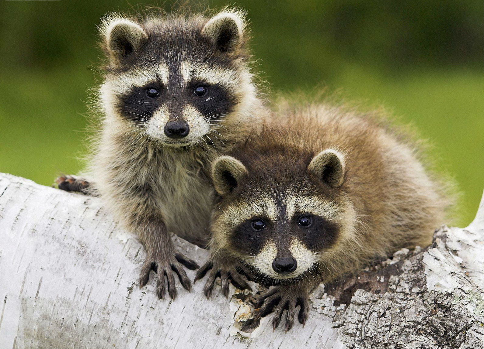 getting rid of raccoons the tree center
