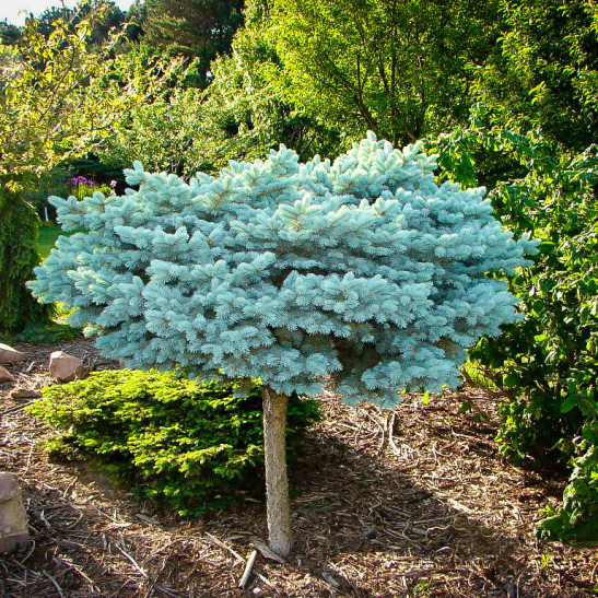 Blue Spruce Bush