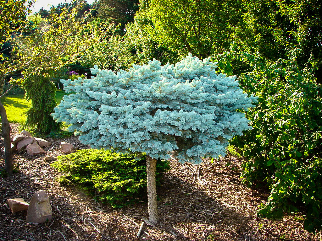 Globe blue spruce tree for sale online the tree center izmirmasajfo