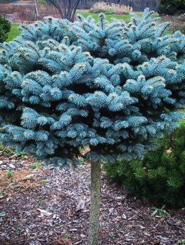 Globe Blue Spruce Tree – Grafted Standard