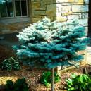 globe-blue-spruce-tree-3