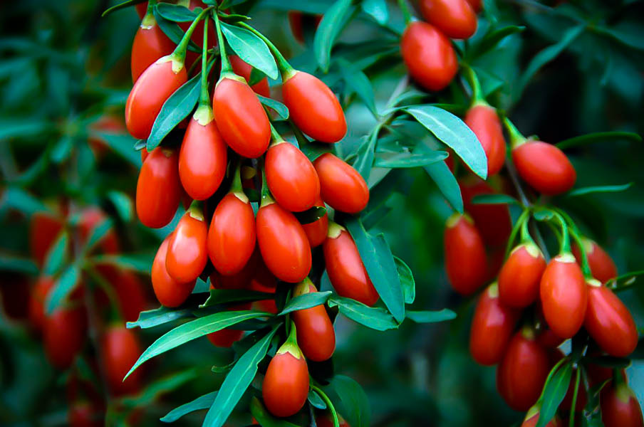 Goji Berry Plant For Sale The Tree Center