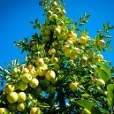 Yellow Apples on Golden Delicious Apple Tree