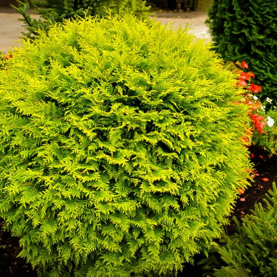 Golden Globe Arborvitae For Sale Online The Tree Center