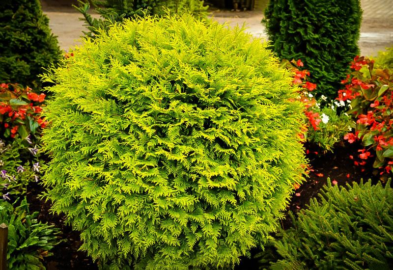 Golden Globe Arborvitae The Tree Center