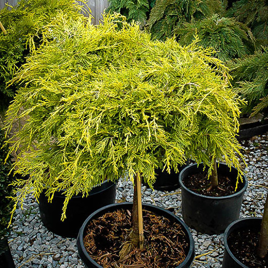 Golden Glow Juniper Tree Form For Sale Online The Tree