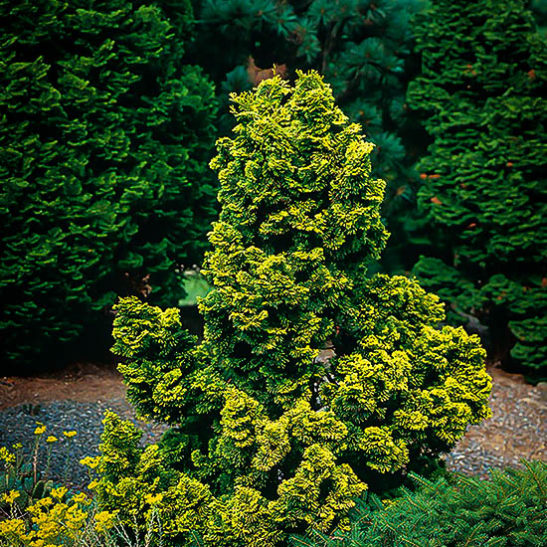 Golden Hinoki Cypress Trees For Sale The Tree Center