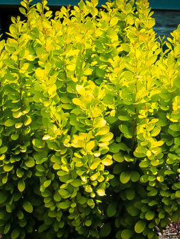 Golden Rocket Barberry
