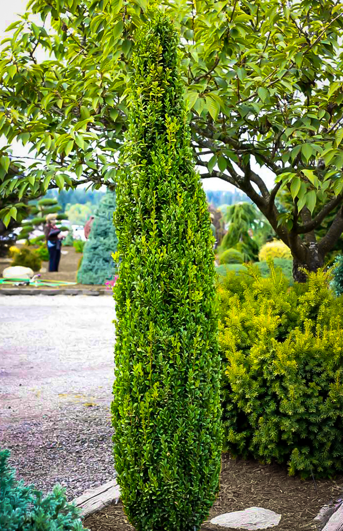 Graham Blandy Boxwood Shrubs For Sale The Tree Center