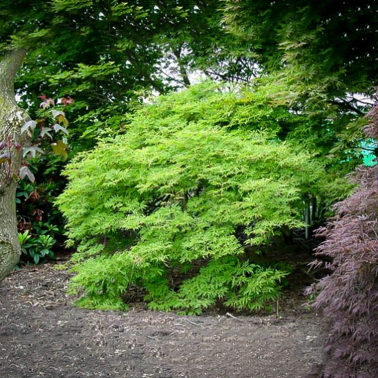 Green Cascade Japanese Maple For Sale Online The Tree Center
