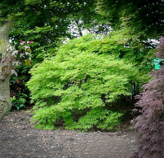 Green Cascade Japanese Maple Tree