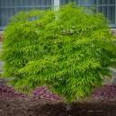 green-cascade-japanese-maple-2